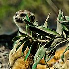 Slender-tailed Meerkat by Bekah Reist