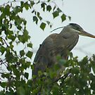 Great Blue Heron in a Tree by arr333