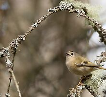 Goldcrest in Spring by sarniebill1