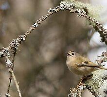 Goldcrest in Spring by sarniebill1