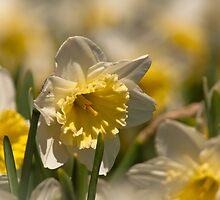 Daffodil Dreaming by Al Duke