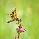 Female Eastern Amberwing Dragonfly by Bonnie T.  Barry