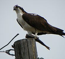Osprey Eating Fish by © Betty E Duncan ~ Blue Mountain Blessings Photography