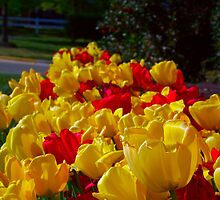 Red And Yellow Tulips by James Brotherton