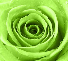 Lime Green Rose with Water Droplets by Natalie Kinnear