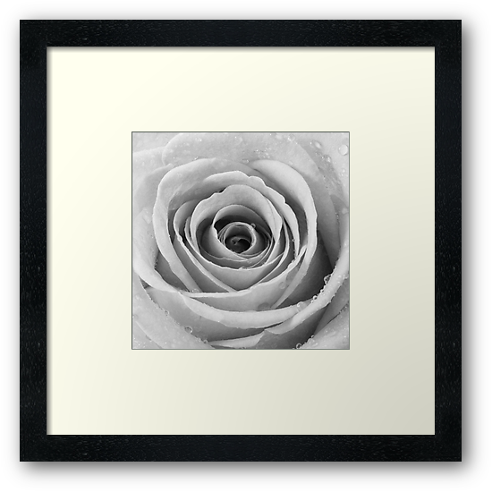 Silver Rose with Water Droplets by Natalie Kinnear