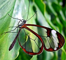 Glasswing Butterfly by missmoneypenny