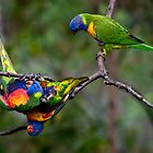 Lorikeets at play by Celeste Mookherjee