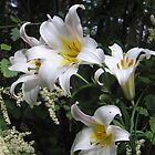 Lilies and Lace by Pat Yager