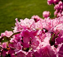 Pink Azaleas in the Urban Jungle IV by Shadrags