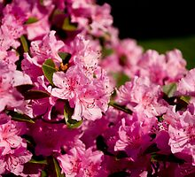 Pink Azaleas in the Urban Jungle VII by Shadrags
