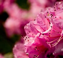 Pink Azaleas in the Urban Jungle XI by Shadrags