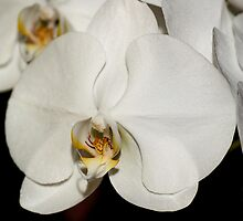 White Moth Orchid by Carole-Anne