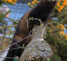 Look Out Post.European polecat (Mustela putorius), by Hovis