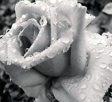 Raindrops on Roses VIII by KathyBurke