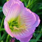 Pretty in Pink - Evening Primrose, Pink Lady - Texas Wildflower by aprilann