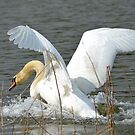 White swan, you are leaving me. by Nicole W.