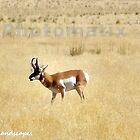 The grazing antelope by Erika Price