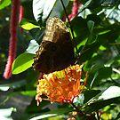 Owl Butterfly on Bright Orange Flower by Paula Betz