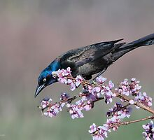 Common Grackle on Peach Tree by (Tallow) Dave  Van de Laar