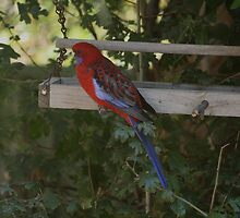 Rosella by warmonger62