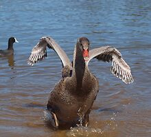 Black Swan Cygnet. by shortshooter-Al