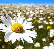 Field of Daisies by Honor Kyne