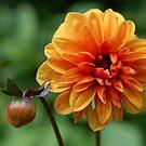 Orange dahlia by Matthew Folley