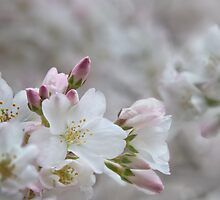 The Glory of Spring 2 by Peter O'Hara