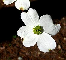 Dogwood blooming in late March by Samohsong