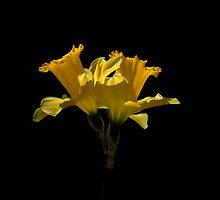 Elegant Daffodils by helencwynn