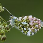 Orange tip butterfly by Stacey  Purkiss