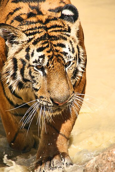 Tiger Emerging by Carole-Anne