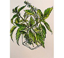Basil. A pungent and delicious herb. Pen & wash. 21cmx28cm 2012Ⓒ Photographic Print
