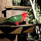 Australian King Parrot, Male by SophiaDeLuna