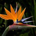 Bird of paradise by Celeste Mookherjee