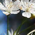 blossom  by wistine