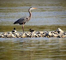 Duck Duck Heron by Veronica Schultz