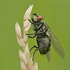 Flesh fly by Stacey  Purkiss