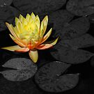 Yellow Water Lily #2 by Jennifer Hulbert-Hortman
