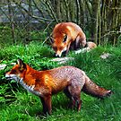Foxes by Doug McRae