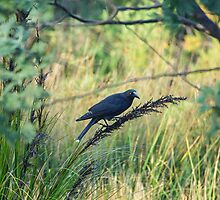 Currawong sitting on native  grass by Ron Co