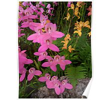 Mixed Glasgow Orchids Poster