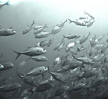 SWARMING TREVALLY by NICK COBURN PHILLIPS
