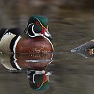 Wood Duck Drake - Mud Lake, Ottawa, Ontario by Stephen Stephen