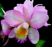Cattleya Orchid by freevette