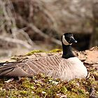 Nesting Canada Goose II by CormacEby