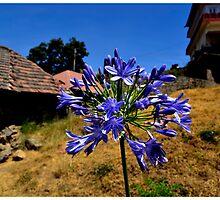 help me identify the flower ? by stilledmoment