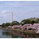 Washington Monument - Cherry Blossom Festival 2012  by Mary Campbell