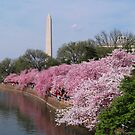 Blooms Galore - Cherry Blossom Festival 2012 by GardenJoy